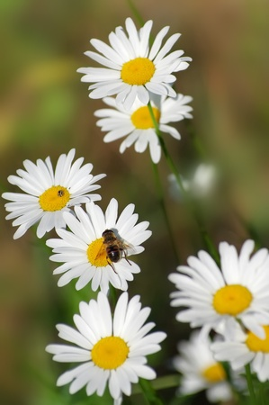 Spring background of the daisies photo
