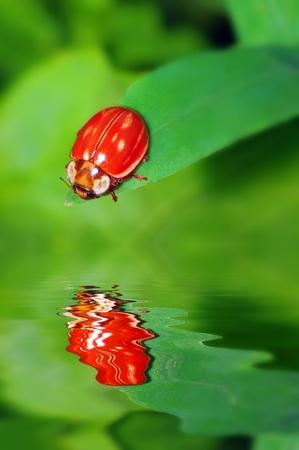 ladyfly: Ladybug on green leaf with reflection