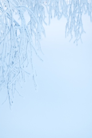 Winter background. Overhanging branches of birch trees in hoarfrost