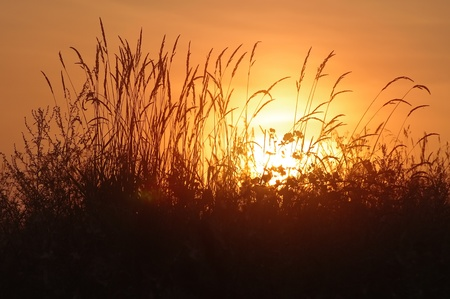 Sunrise. The tall grass in the rays of the rising sun