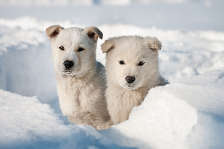 Two puppy dogs wandering. Stray dogs family in the Siberian taiga