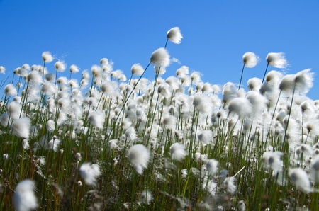 marsh plant: Ð¡otton Grass against the blue sky. Windy weather. Russia, Western Siberia Stock Photo