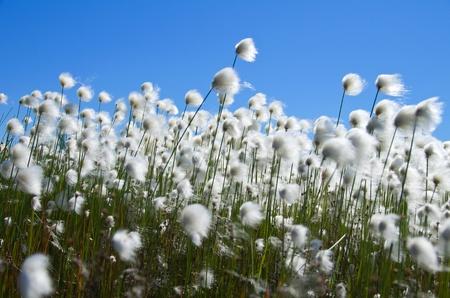 marsh plant: ?otton Grass contro il cielo blu. Vento. Russia, Siberia occidentale