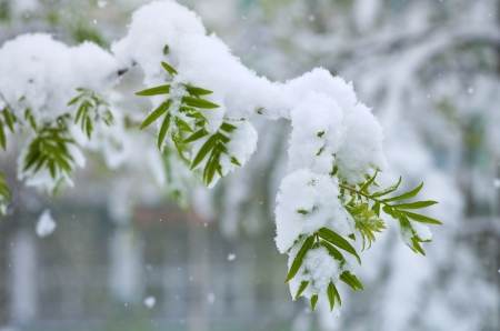 Snowfall in Spring. Young birch leaves in the snow. Snowfalls occur in May in Siberia. photo