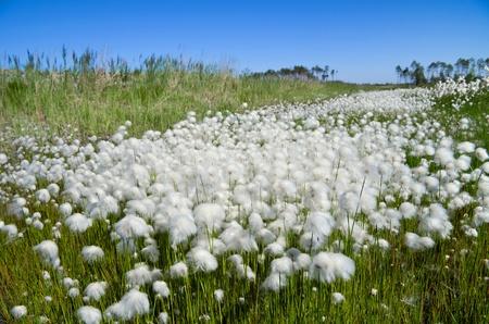 marsh plant: Paesaggio estivo con Grass Cotton. Russia, Siberia occidentale