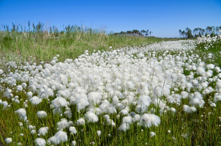 marsh plant: Summer Landscape with Cotton Grass. Russia, Western Siberia