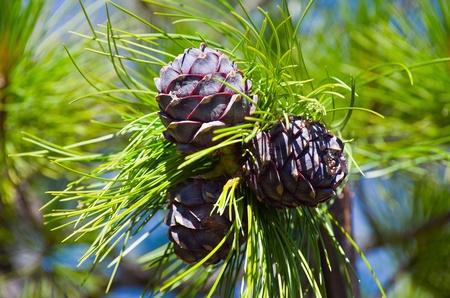 siberian pine: Siberian cedar. Young Siberian pine cones in June. Russia, Western Siberia. Stock Photo