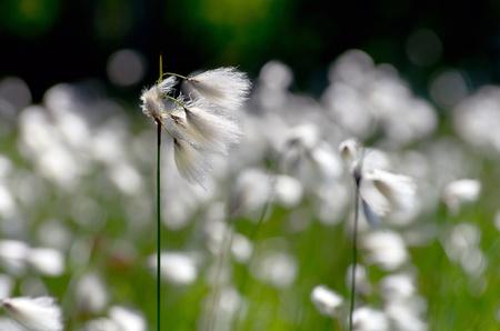 siberia: Сotton Grass. Windy weather. Russia, Western Siberia
