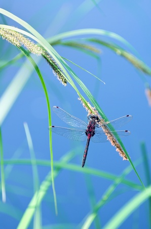 Dragonfly by the pond over the blue water Stock Photo