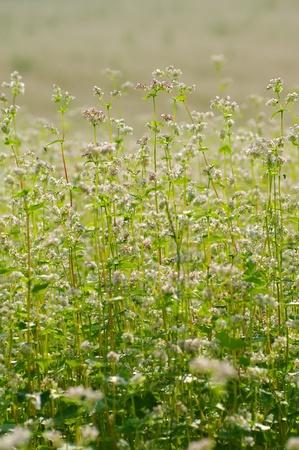 Buckwheat. Field of flowering buckwheat. A warm summer day. Stock Photo - 9944435