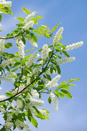 Flowering bird cherry tree. Bird cherry blossom in the spring against the blue sky