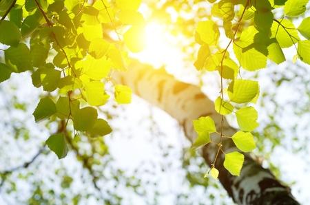 sol naciente: Abedul en el sol naciente. Foto de archivo