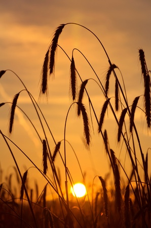 The sun rises over a wheat field photo