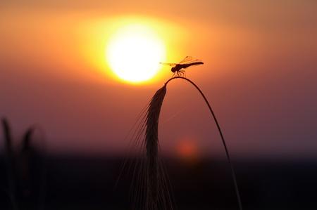 Dragonfly. Sunset photo