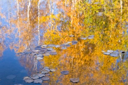 reflect: Autumn trees reflected in water. Fallen leaves float down the river