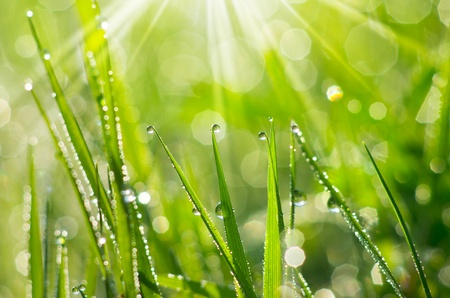early summer: Dew drop close to the fresh green grass