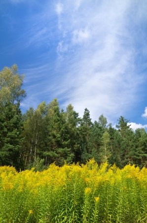 goldenrod: Blooming goldenrod at the foot of the forest