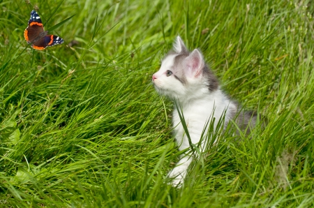 Kitten watching a butterfly. Little curious hunter