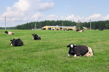 munching: Cows lie on the green field, munching grass