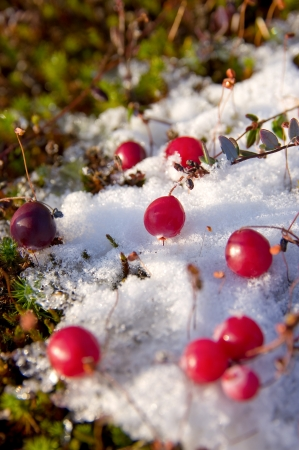 ripened: Ripened cranberries at the first snow.