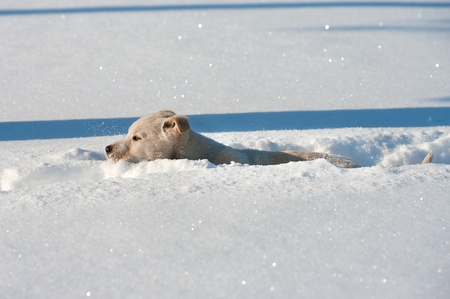sneaks: Little puppy sneaks through the deep snow Stock Photo