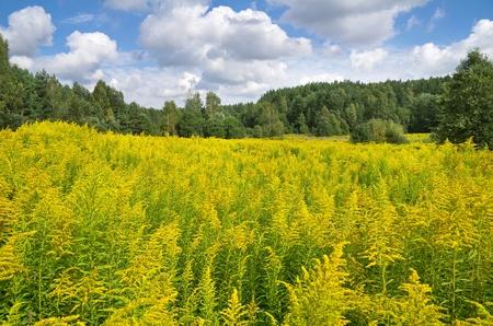 goldenrod: Summer Landscape