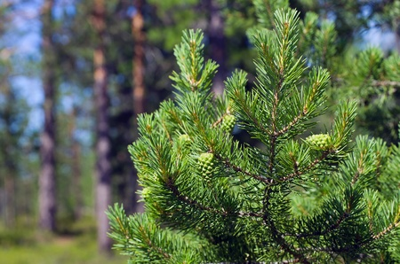 pine three: Summer in the woods. Pine branch with green buds on the background of the young forest. Stock Photo