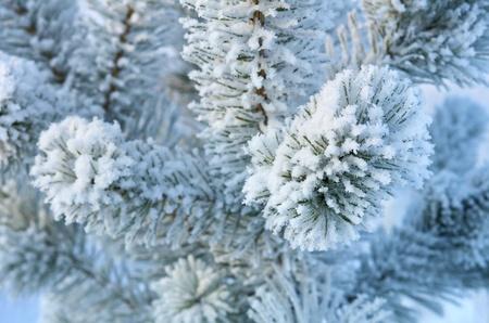 a cedar: De fondo de invierno. Un árbol de coníferas en la escarcha y la nieve