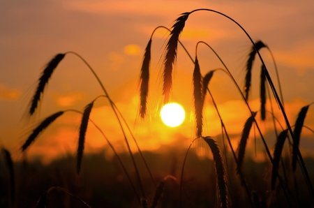 Early in the morning. A field of ripe rye against the rising sun. photo