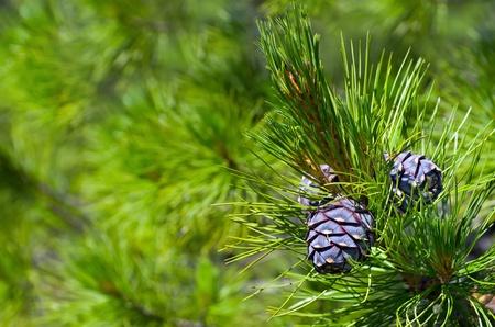 cedro: Siberiano cedro. Antecedentes de los conos de pinos j�venes. Foto de archivo