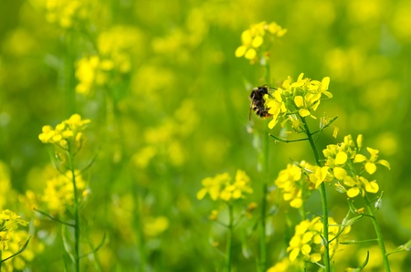 A bumblebee  sitting on a yellow flower of mustard. Bright summer background.