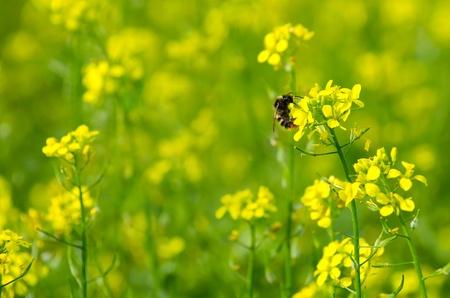 Eine Hummel sitzt auf einer gelben Blume von Senf. Helle Sommer Hintergrund. Lizenzfreie Bilder