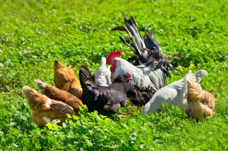 A flock of chickens walking on a green meadow.