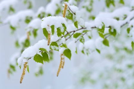 Birch catkins and leaves in the wind during the snowfall. Western Siberia, Russia. photo
