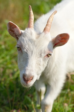 yeanling: Goat on a meadow close