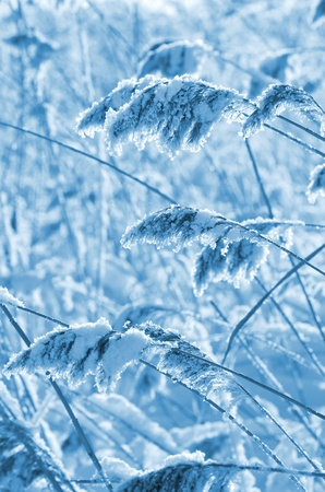 Frozen reed in the wind photo