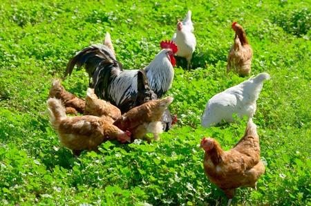 Eine Schar Hühner zu Fuß auf einer grünen Wiese. Lizenzfreie Bilder