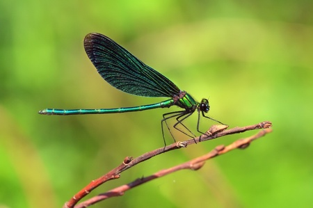 Gorgeous dragonfly sitting on a dry twig of the tree  photo