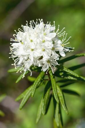 Ledum Blossom Close-up Stock Photo