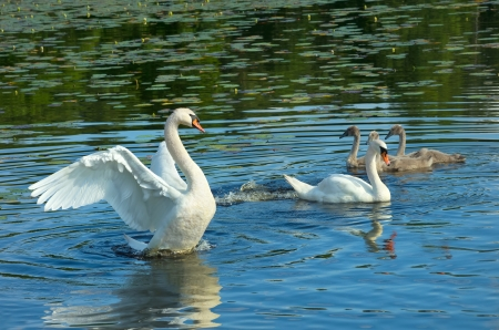 Family of white swans photo