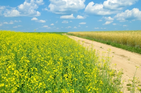 oilseed rape: The road through the scenic rural landscape
