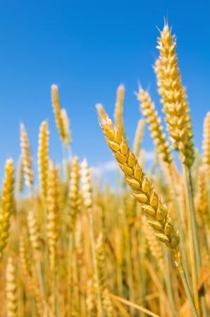 Mature ears of wheat  photo