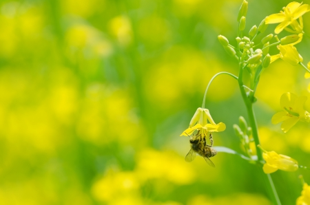 mustard field: The bee collects honey on a flower