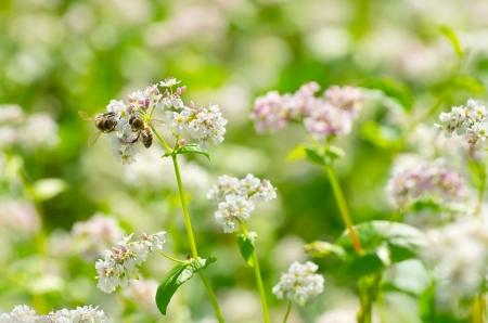 Dos abejas en flor de trigo sarraceno.