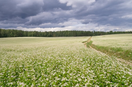 The road through the flowering buckwheat field Stock Photo