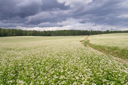 flowering field: The road through the flowering buckwheat field Stock Photo