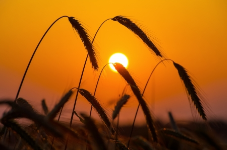early summer:  A field of ripe rye against the rising sun