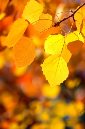 aspen leaf: Background of autumn leaves