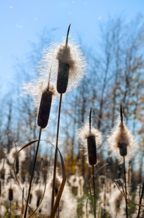 Fluffy cattail cobs in the sunlight. Stock Photo - 15389231