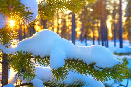 Pine branch in snow  Winter sunset in the forest